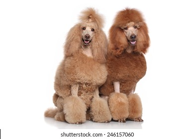 Two red and apricot Standard Poodles on white background