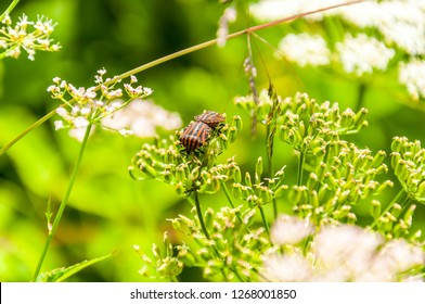 Two red black painted bugs pairing on blooming Pimpinella flower. Graphosoma lineatum is a species of shield bug in the family Pentatomidae. It is also known as the Striped bug and Minstrel bug.