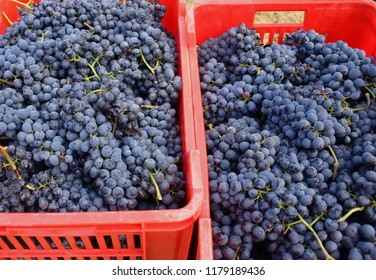 two red boxes filled with italian nebbiolo grapes during harvest
