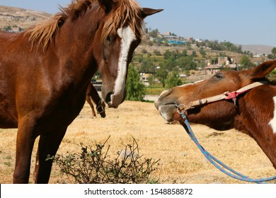 two red brown  horses portrait kiss each other beautifully caressing each other's lips