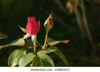 Two red buds of rose in garden
