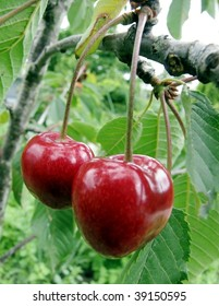 Two red cherries growing on a tree
