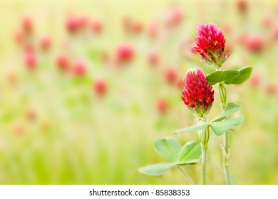 Two red clover flowers in meadow (Trifolium incarnatum) useful for herbal medicine and cosmetology