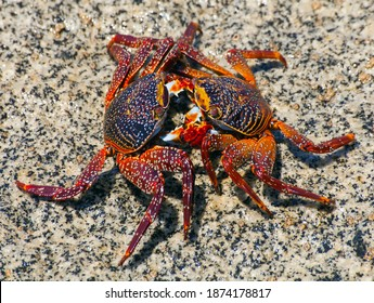 Two red crabs on stone, sea crustacean