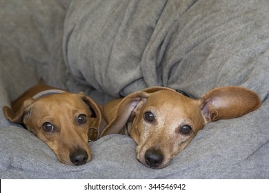 Two red dachshunds lying next to each other.