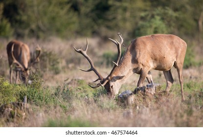 Two red deer with antlers grazing on meadow in front of forest.  Wildlife animal in natural habitat