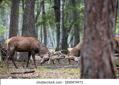 Two red deer clashing his antlers