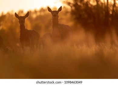 Two red deer hinds in meadow backlight by evening sun.