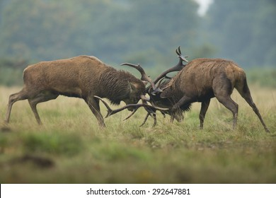 Two red deer stags fighting in light rain