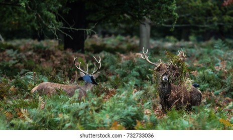 Two Red Deer Stags and a flying Crow