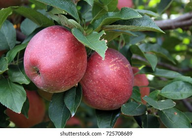 two red delicious apples in tree with leaves/rosy red apples/two apples