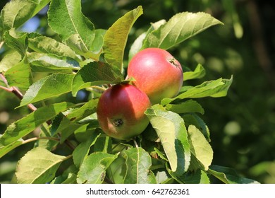Two red Discovery Apples on an apple tree ripening in the late summer sunshine