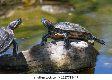 Two red eared slider turtles resting on a rock that is sticking out of a pond and in the sunshine.