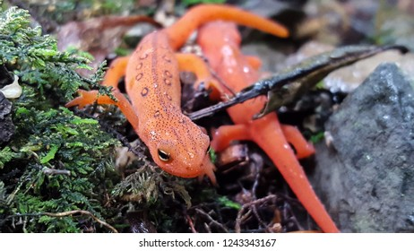 Two red eft Eastern newts making their way around after a light rain.
