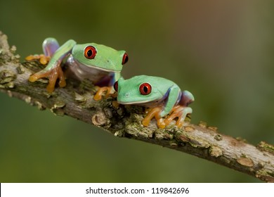 Two Red Eyed Treefrogs hanging out together
