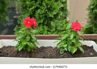 Two red flowers in blossom in a garden pot