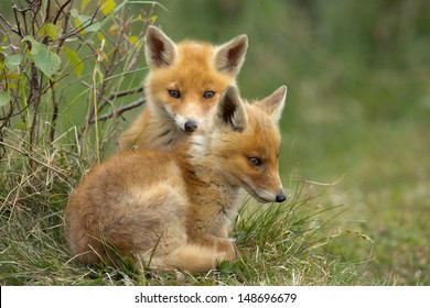 Two Red fox Cubs cuddling