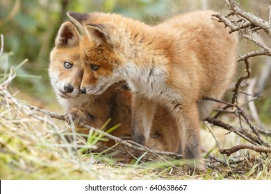 Two red fox cubs playing.