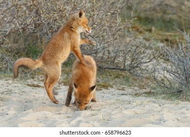 Two red fox cubs playing in nature in springtime
