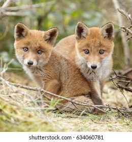 Two red fox cubs posing next to each other
