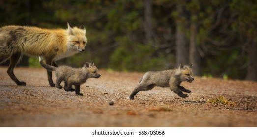 Two red fox kits play while their mother watches in Grand Teton National Park, Wyoming.