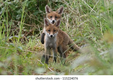 Two Red Fox (Vulpes vulpes) cubs. having a piggy back ride. Taken In Angus, Scotland, UK
