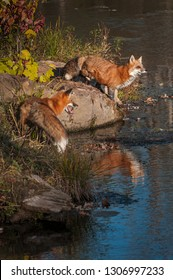 Two Red Fox (Vulpes vulpes) Stand on Shoreline Autumn - captive animals