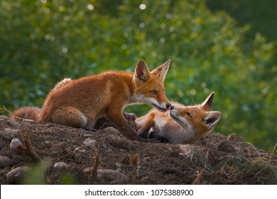 two red foxes fighting each other