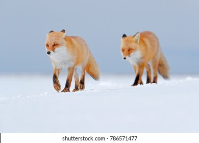 Two Red foxes in white snow. Cold winter with orange furry foxes. Hunting animals on the snowy meadow, Japan. Beautiful orange coat animals in nature.