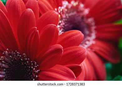Two red gerbera flowers close-up