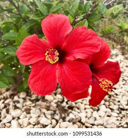 Two red hibiscus flowers in spain