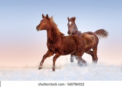 Two red horse run gallop in snow field at sunset