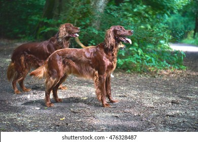 Two Red Irish Setters dogs in the forest