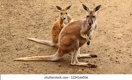 Two red kangaroos are looking at the camera