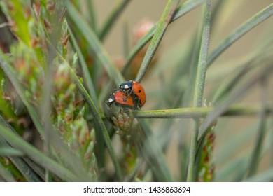 Two red ladybugs (Coccinellidae) mating on pine tree needle macro