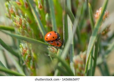 Two red ladybugs (Coccinellidae) mating on pine needle macro