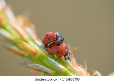 Two red ladybugs (Coccinellidae) mating on pine tree macro