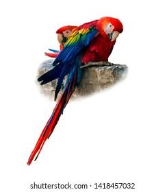 two red macaw parrots sitting on a stone isolated on white