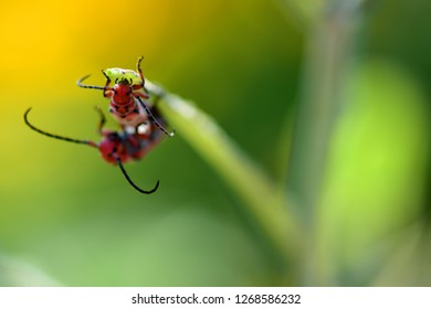 Two red milkweed beetles on a milkweed plant with a natural green background.