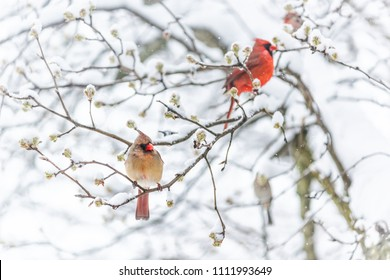 Two red northern cardinal, Cardinalis, birds couple perched on tree branch during heavy winter colorful in Virginia, snow flakes falling