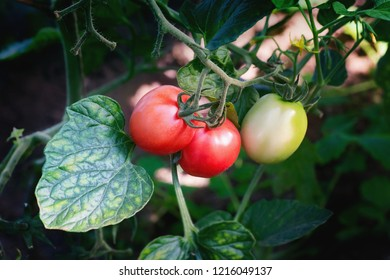 Two red and one green tomatoes on a branch. Close up.