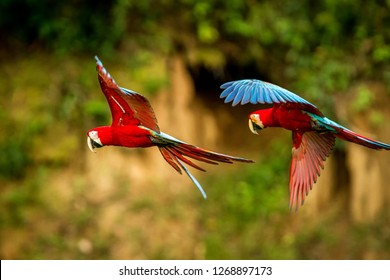 Two red parrots in flight. Macaw flying, green vegetation in background. Red and green Macaw in tropical forest, Brazil, Wildlife scene from tropical nature. Pair of beautiful birds in the forest.