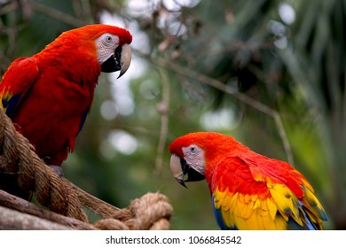 Two red parrots on a perch