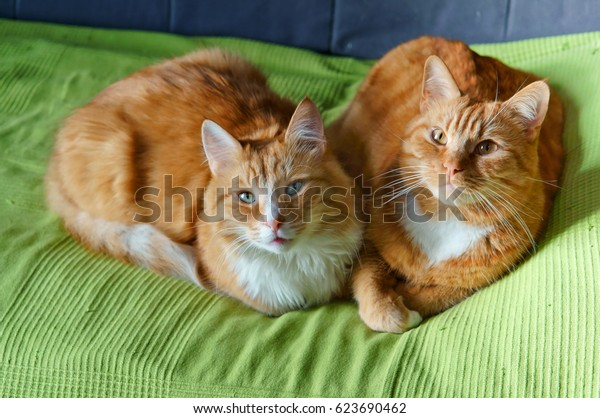 two red pet cat lying on the couch, redhead beautiful domestic cats on a green blanket