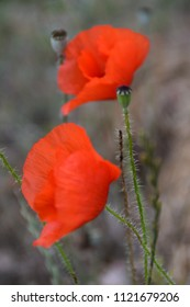 Two red poppies flowers