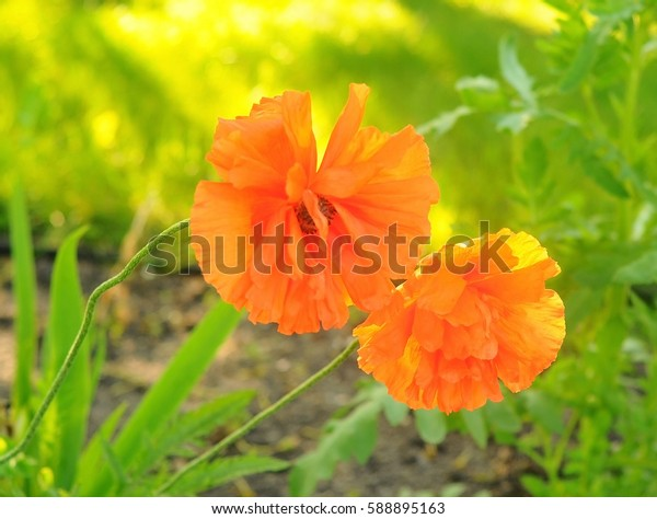 Two Red poppies flowers close up on nature green background. Red poppy flower macro. Meadow with beautiful bright red poppy flowers. Beautiful red puppies blossom on wild field. Poppy in sunny light