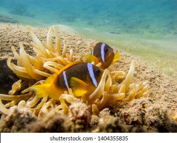 Two Red Sea anemonefish and an  anemone in a tire - Underwater at dive site Bannerfish Bay in Dahab, Egypt