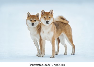 two red siba inu dogs standing on the snow