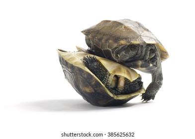 Two red slider turtle on each other on white background.