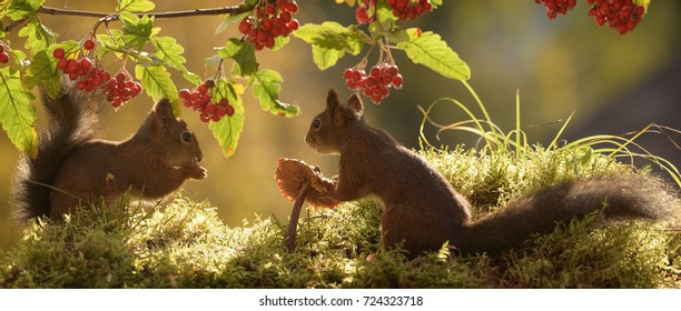 two red squirrels with mushroom,  berries and leaves